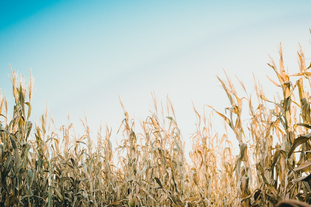 shallow focus photography of corn field under white and blue sky at daytime