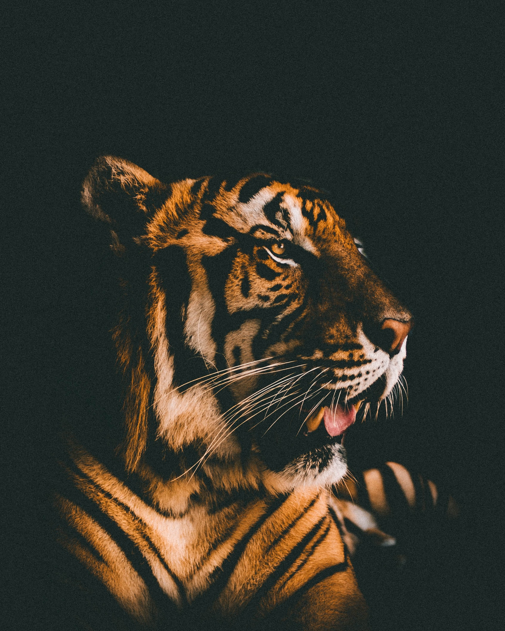 adult tiger prone lying inside dim lighted room