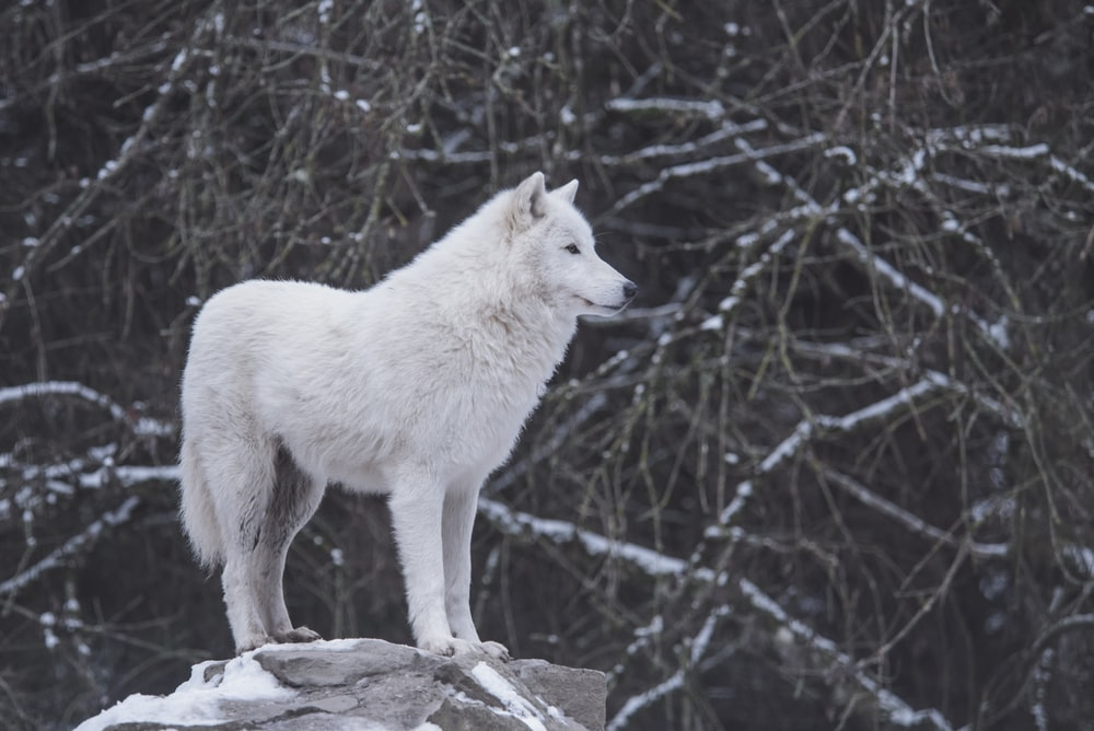 white wolf standing beside black and gray trees
