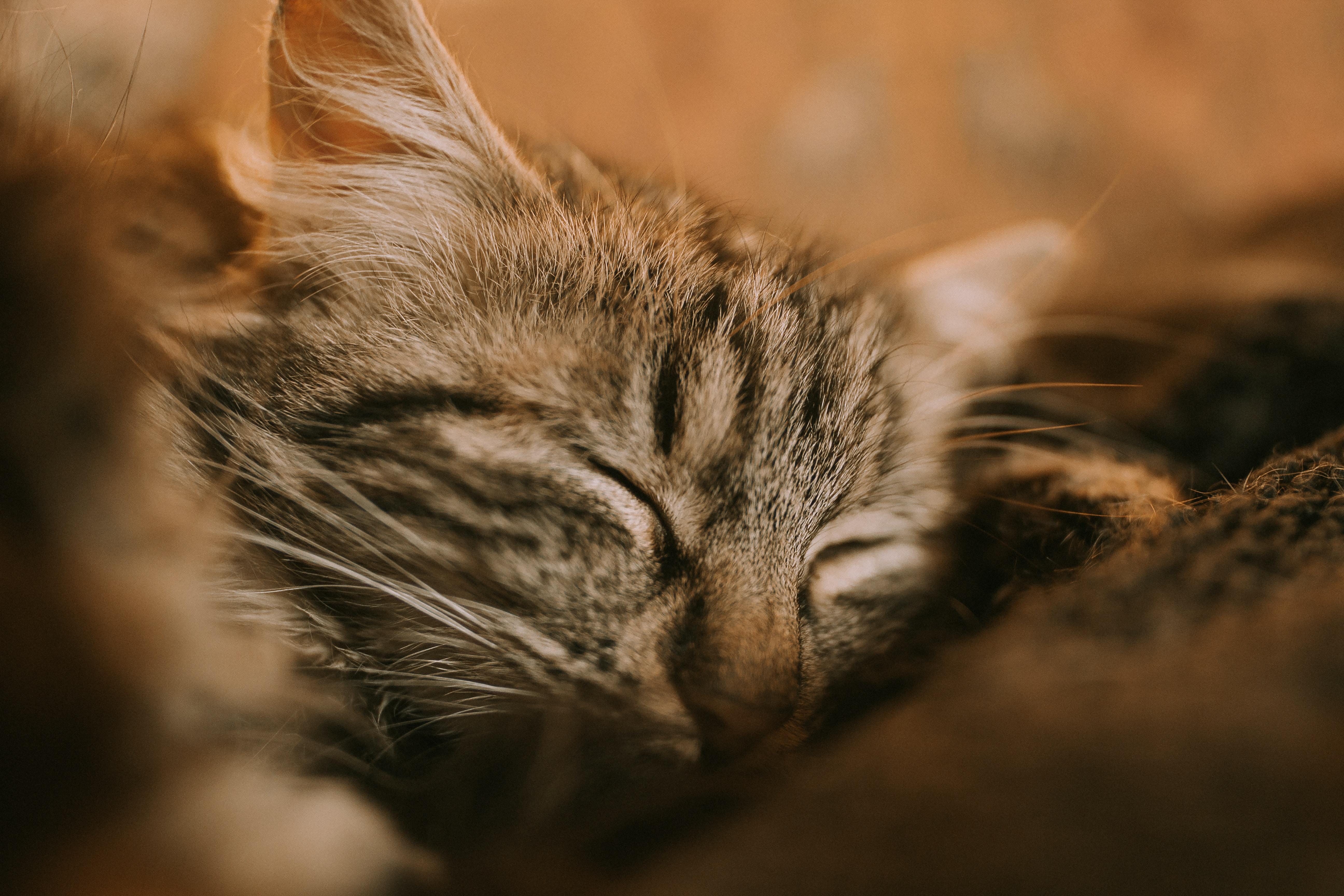 brown tabby kitten closeup photography