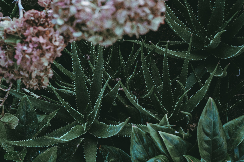 green aloe vera plants