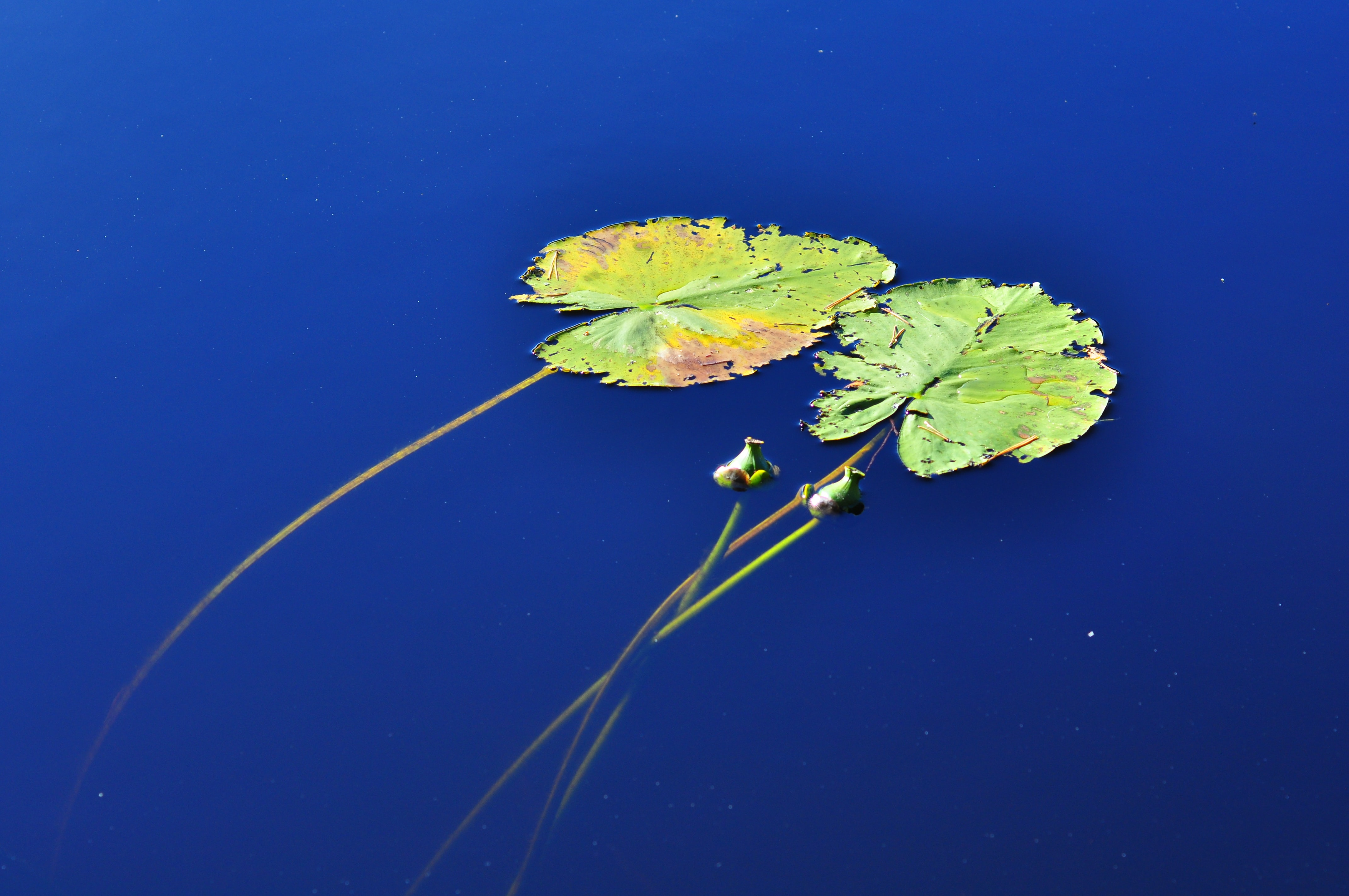 two waterlilies above body of water