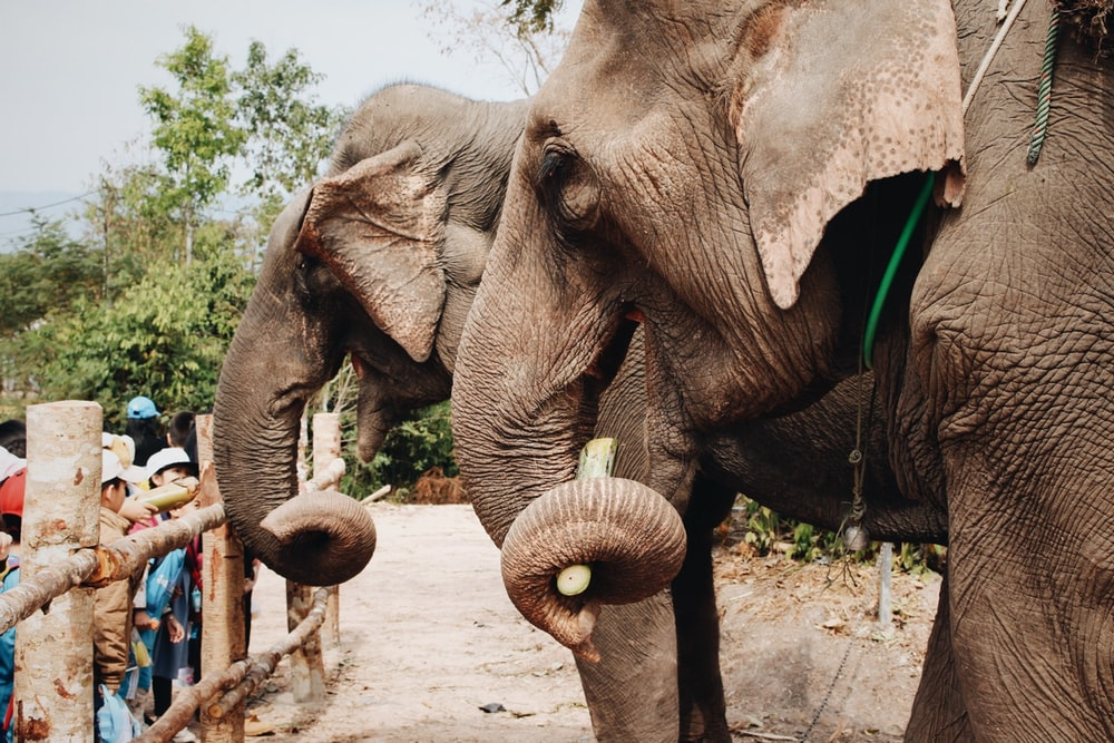 two gray elephants during daytime