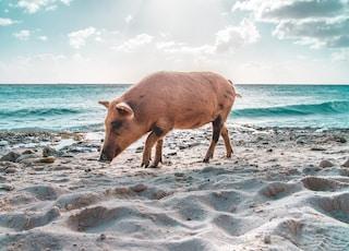 brown pig walking on seashore nearby sea