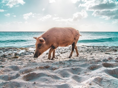 Pigs on Curacao