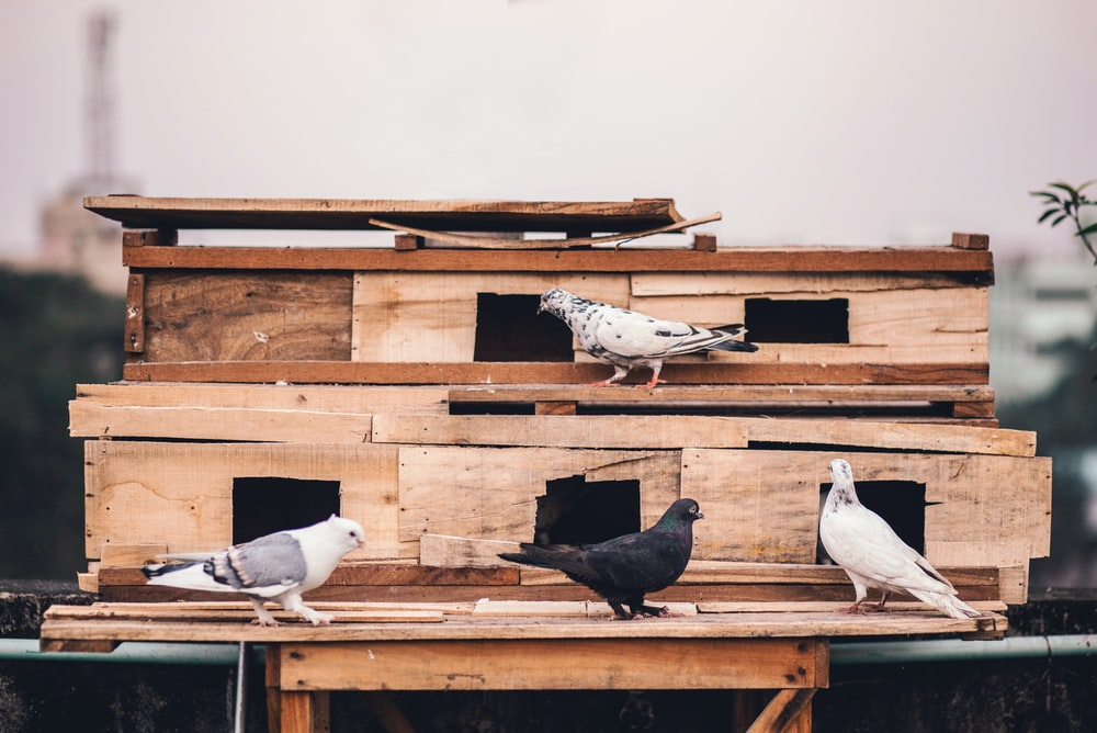 four white, black, and gray pigeons on wooden surface