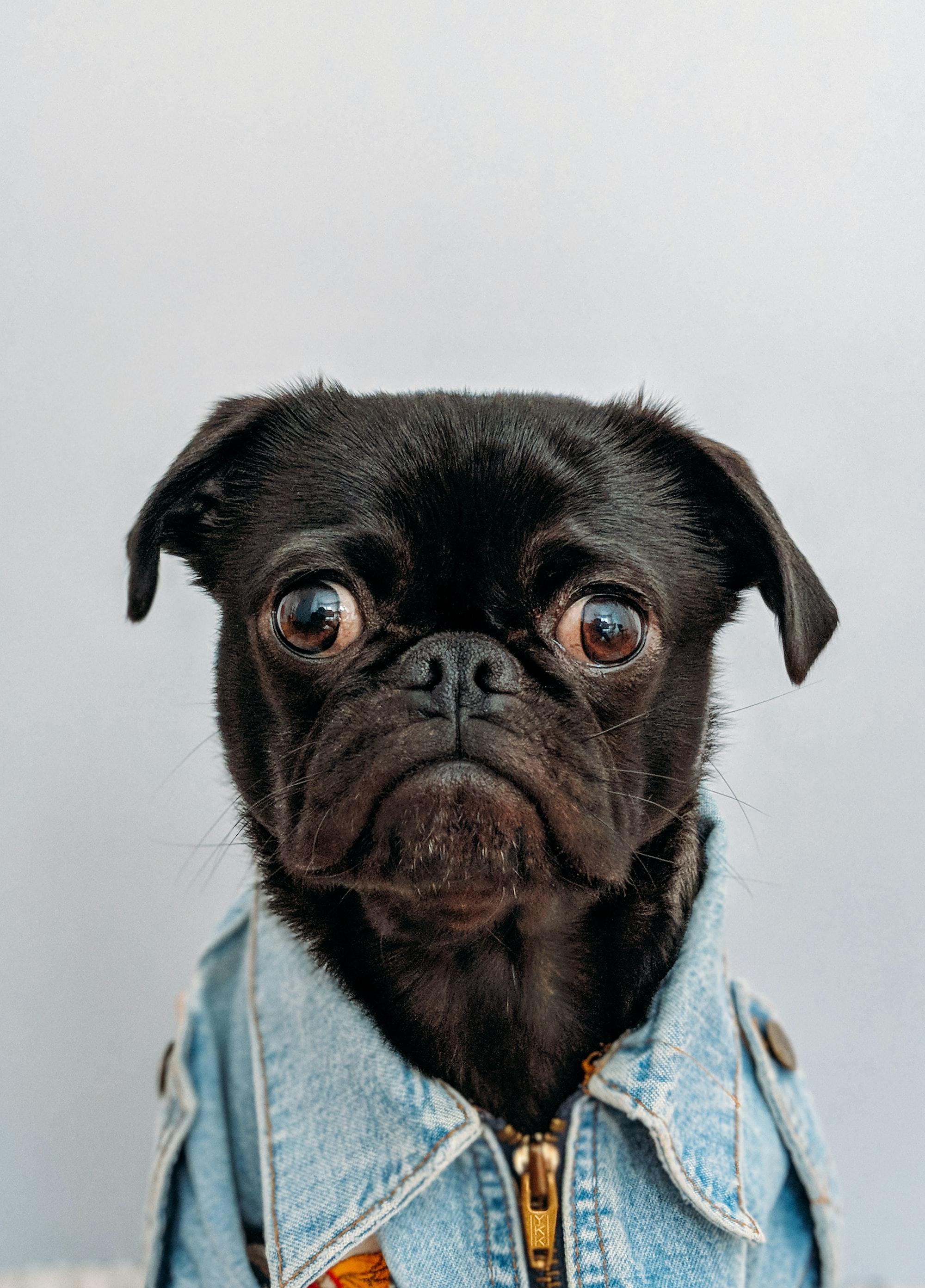 Toshi (black pug) wearing my pilot jacket.