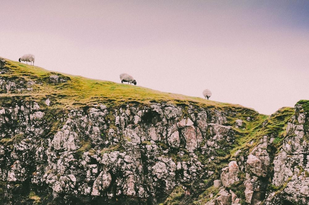 three sheep on green grass field
