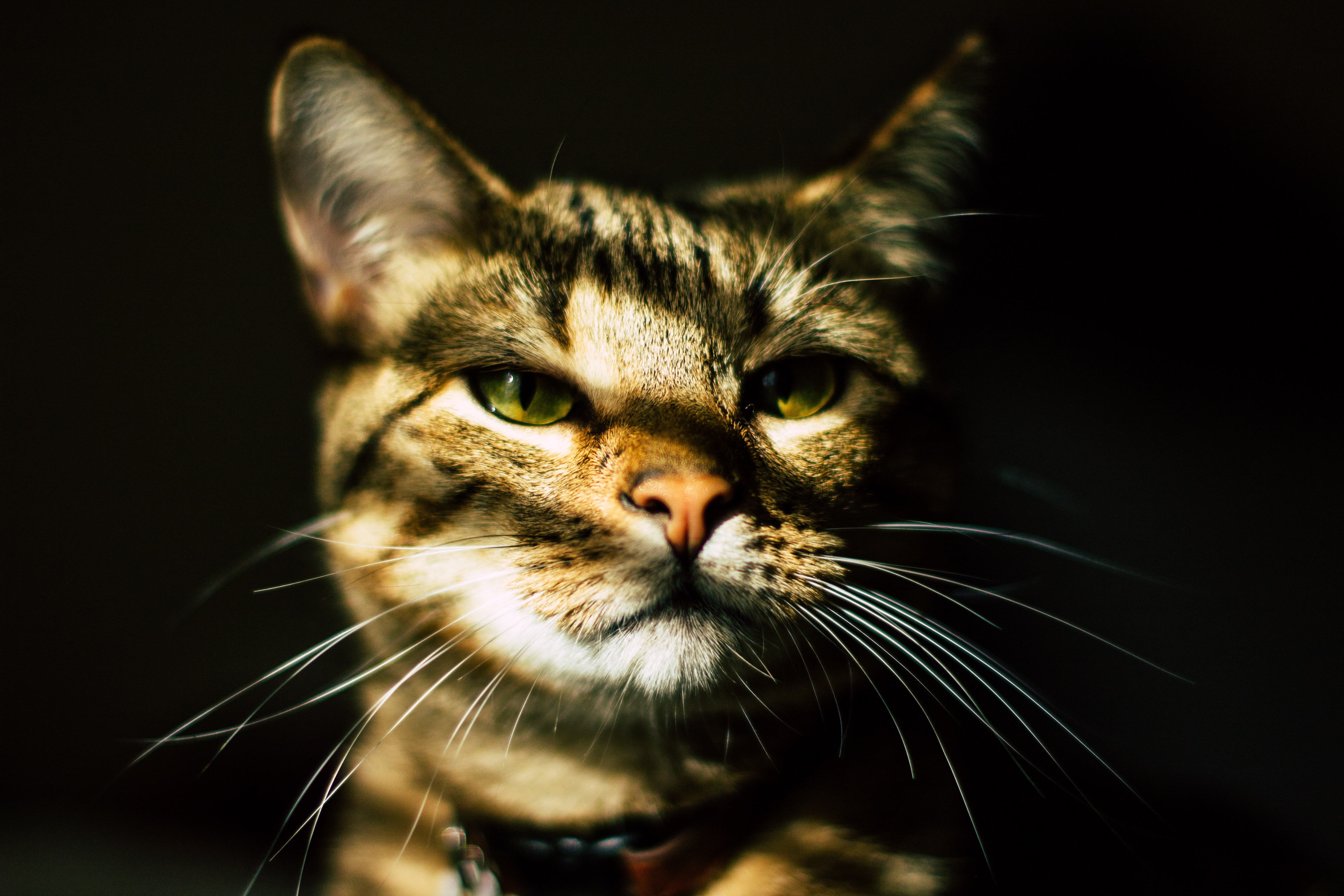 closeup photo of brown tabby cat