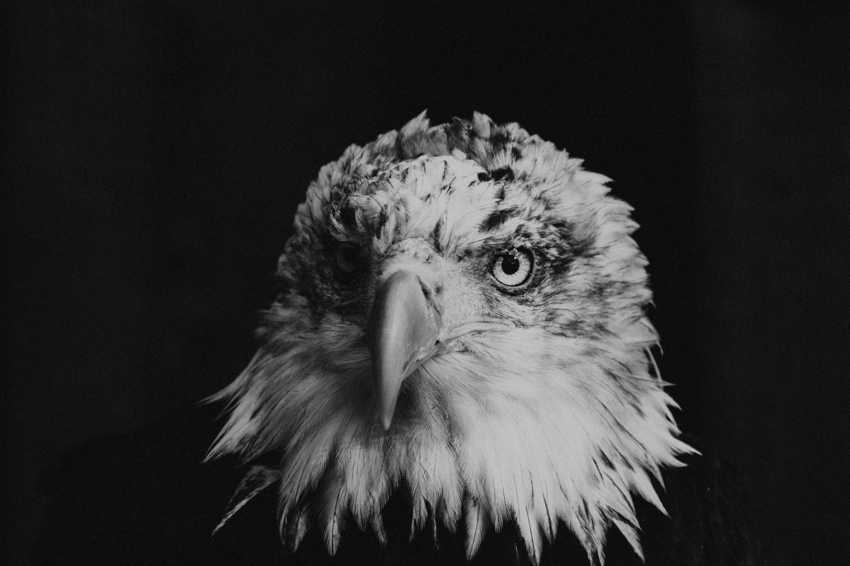 bald eagle greyscale photography
