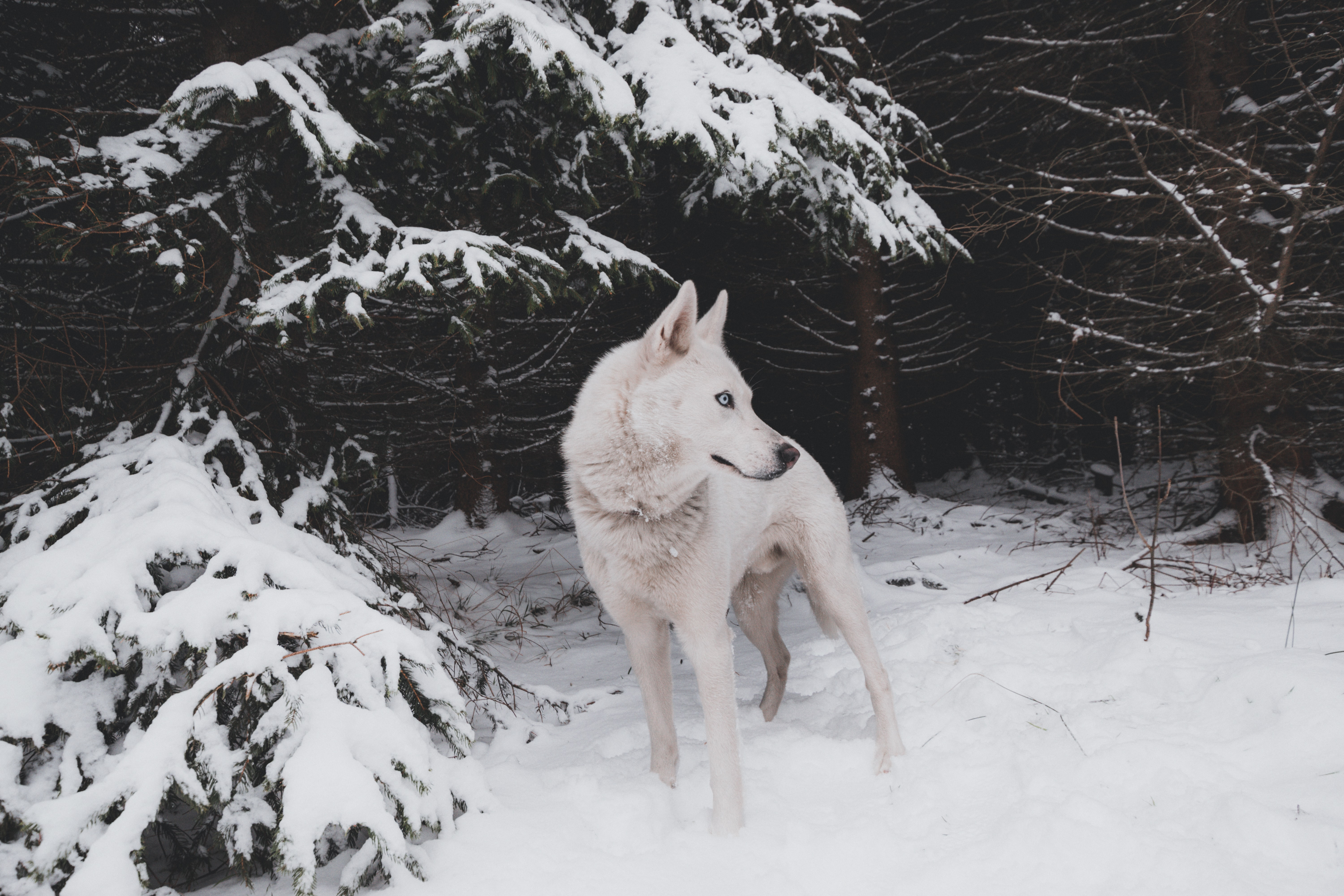 adult white Siberian husky standing on snow filed during day