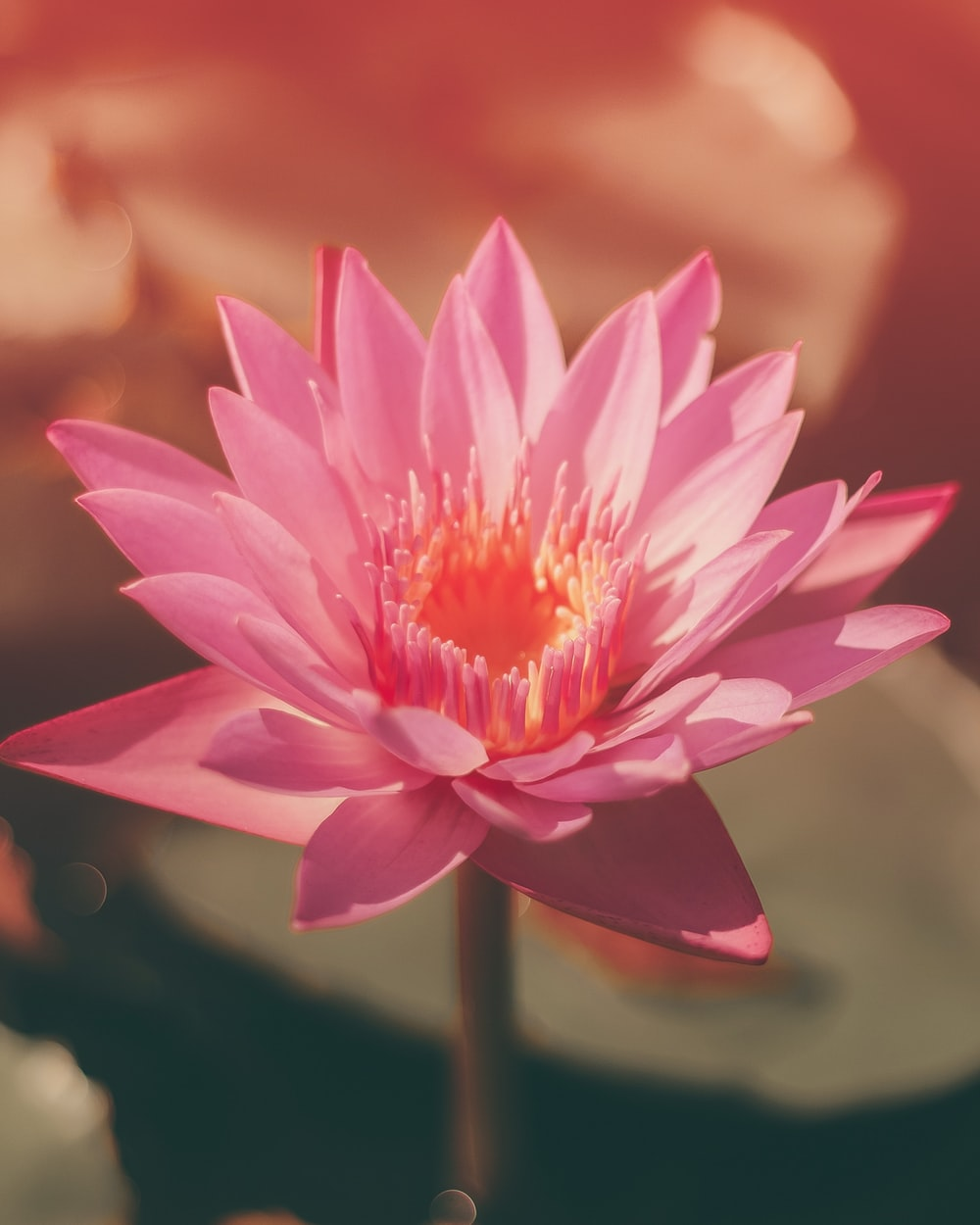 selective focus photography of blooming lotus flower during daytime