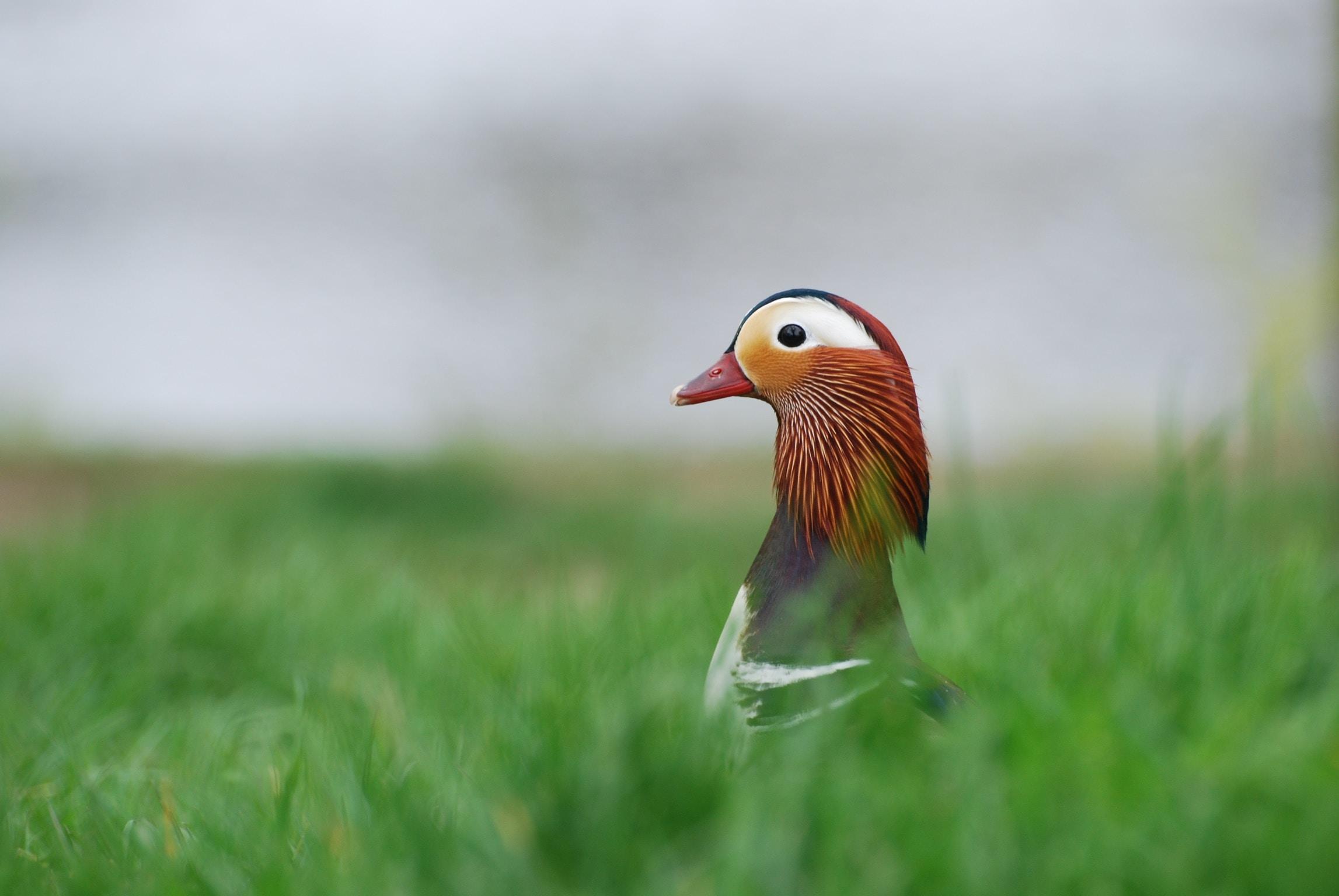 white, brown, and orange bird