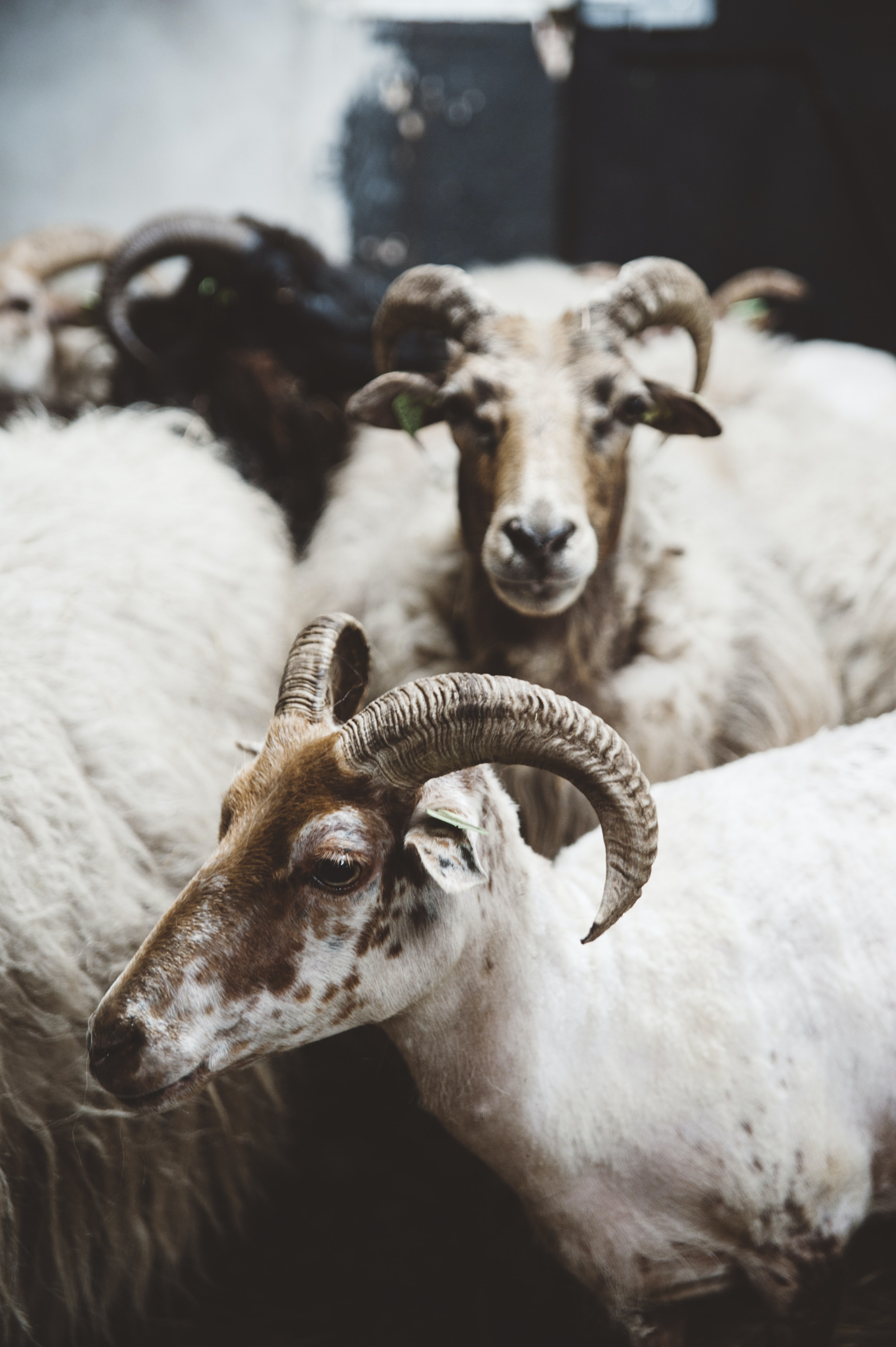 white-and-brown goats