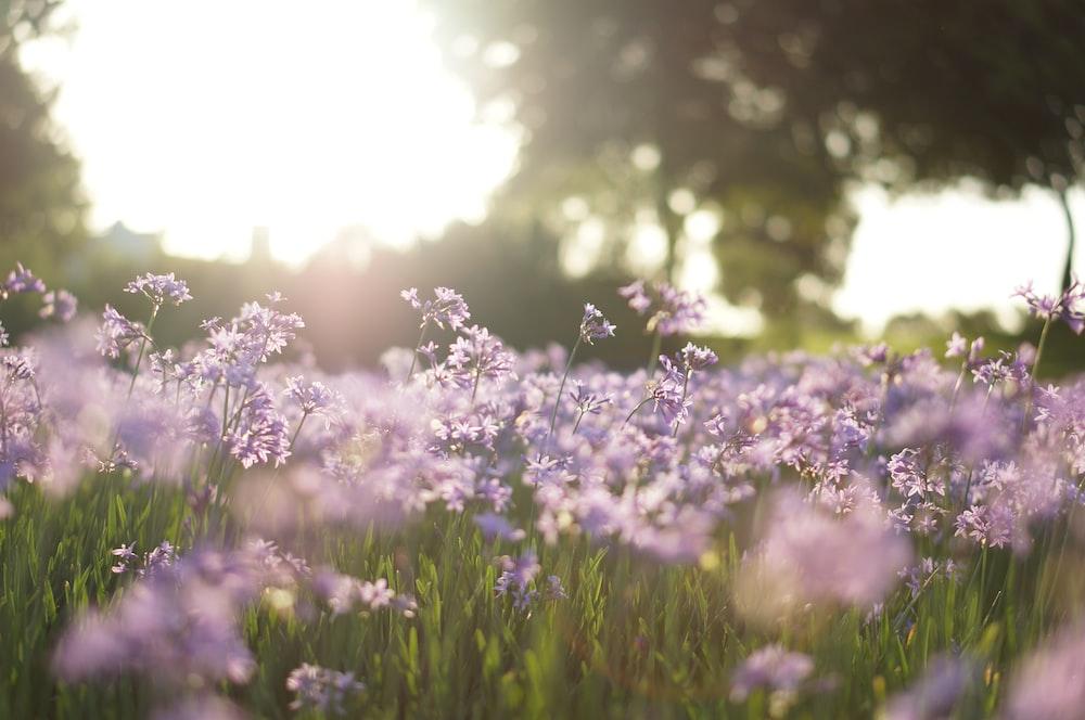 purple flower field in tilt shift photography