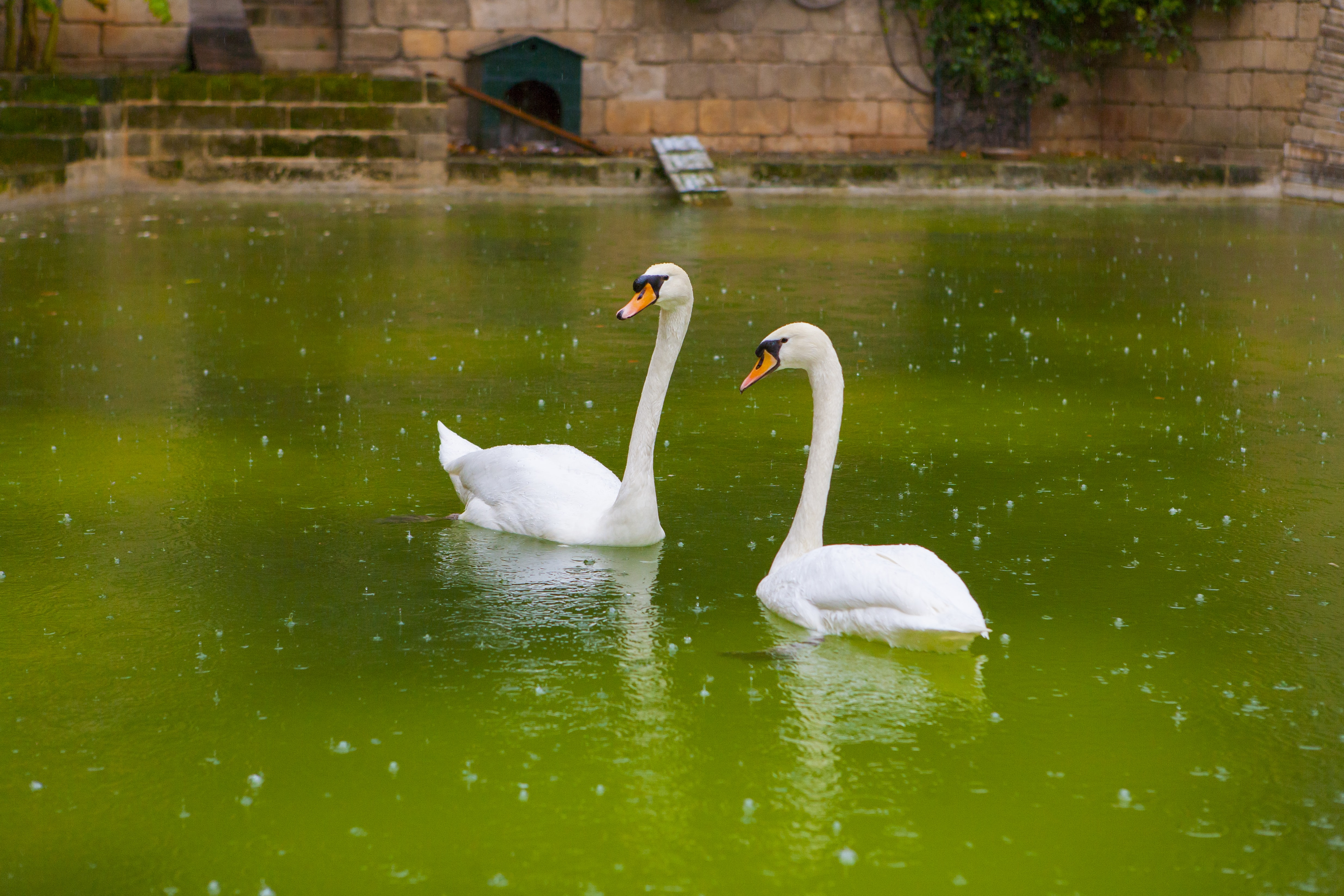photography of swan during daytime