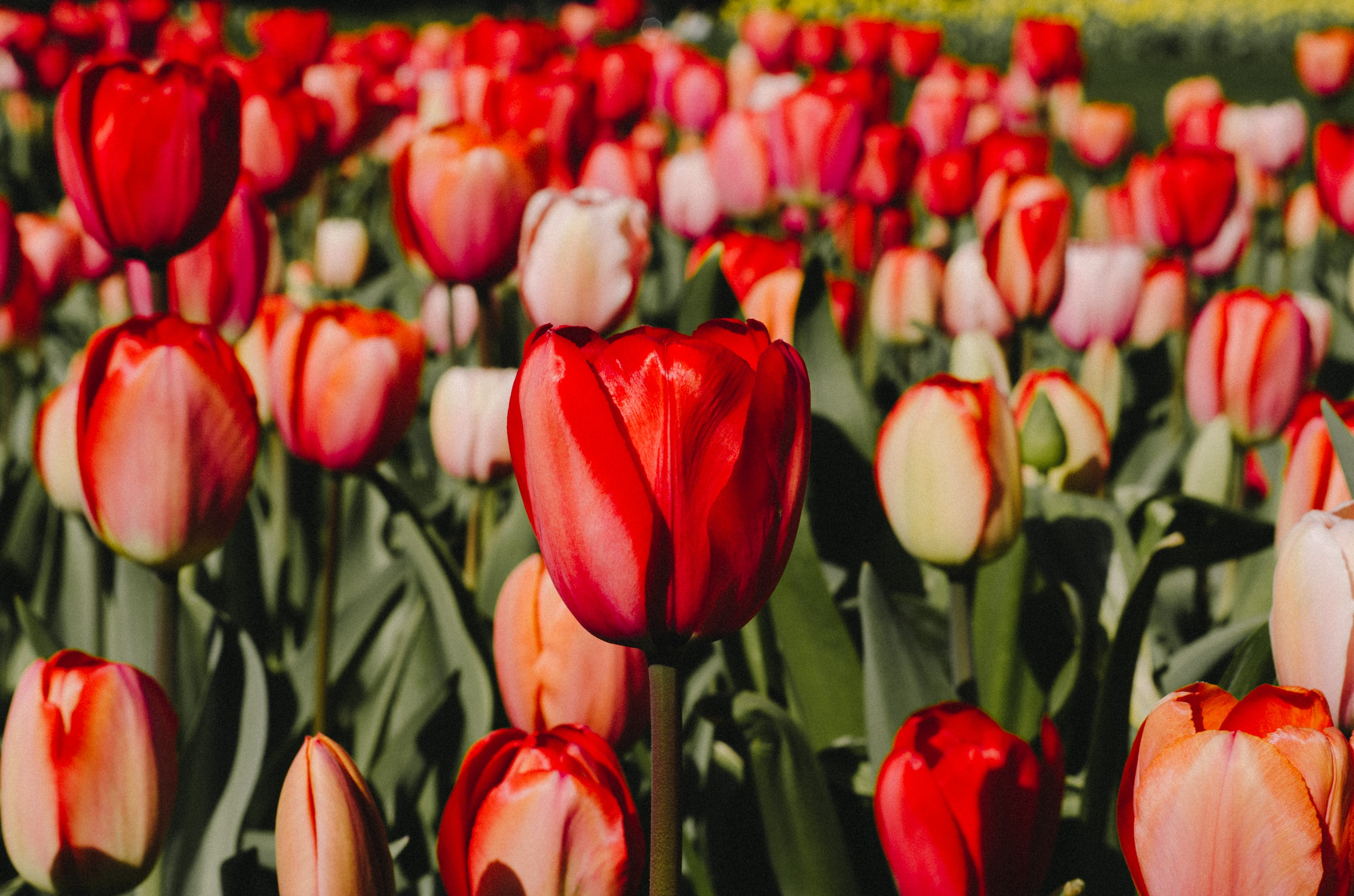 closeup photography of red tulips flowers