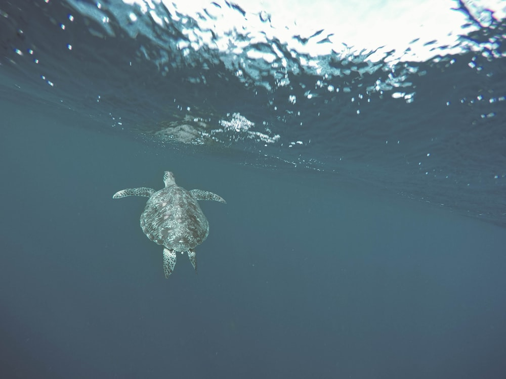 sea turtle under the water