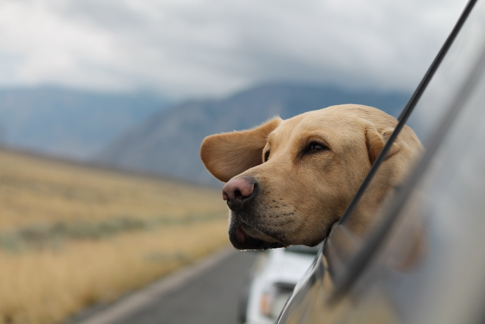 selective focus photography of Labrador in vehicle