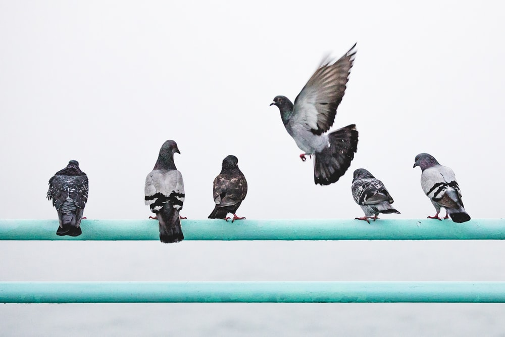 five pigeons perching on railing and one pigeon in flight
