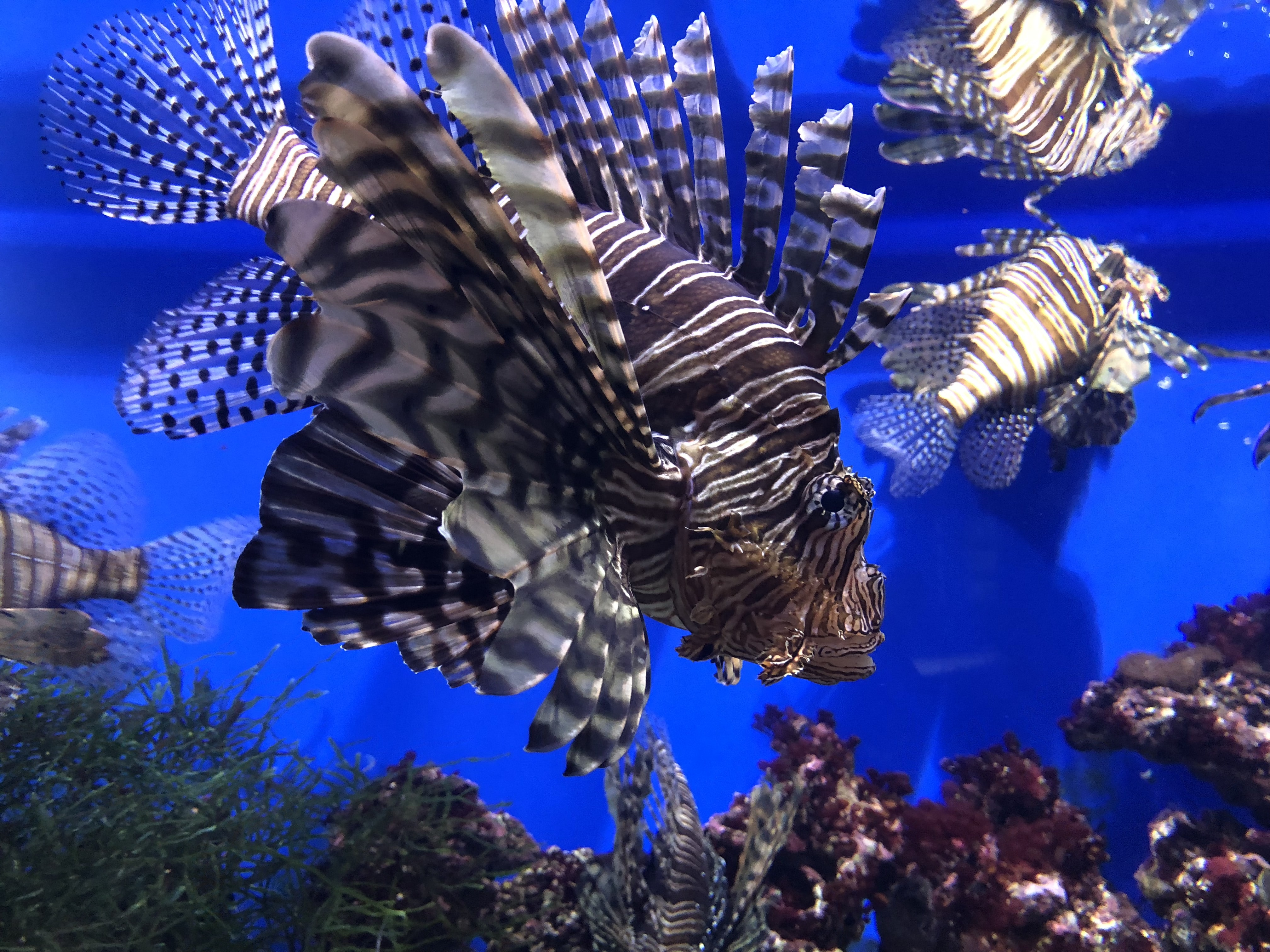 five black lionfishes on body of water