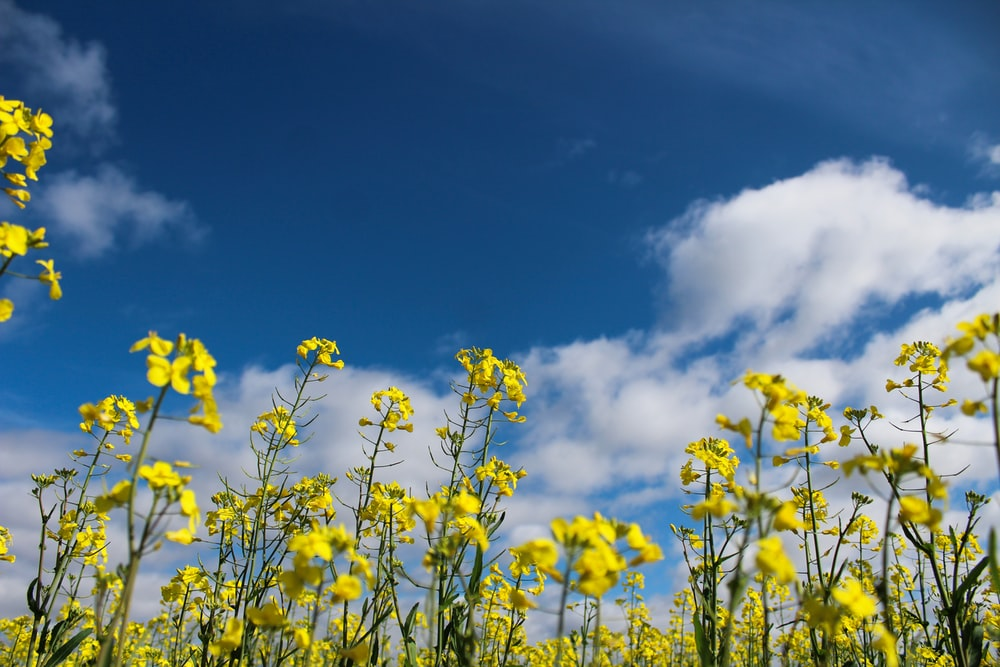low angle photo of yellow flower field under cloudy sky