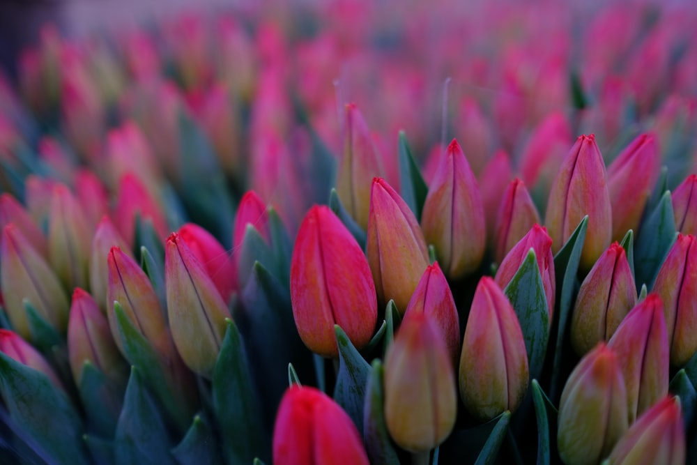 bunch of pink tulips flower