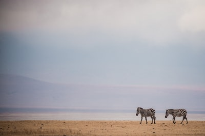 two zebras walking on brown sand plain zoom background