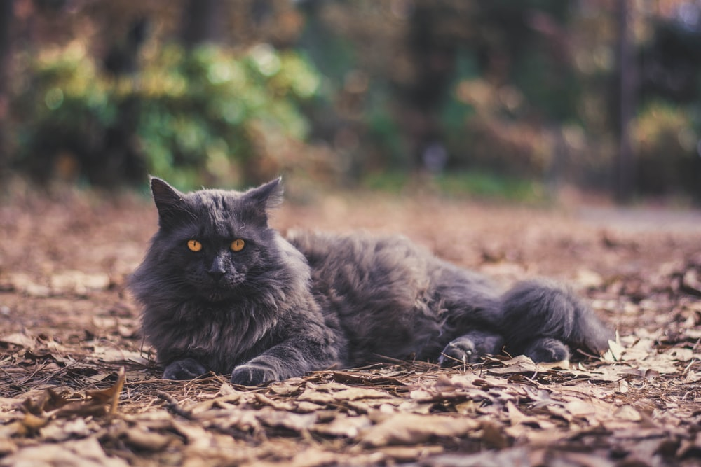adult black forest cat laying on brown dried leaves
