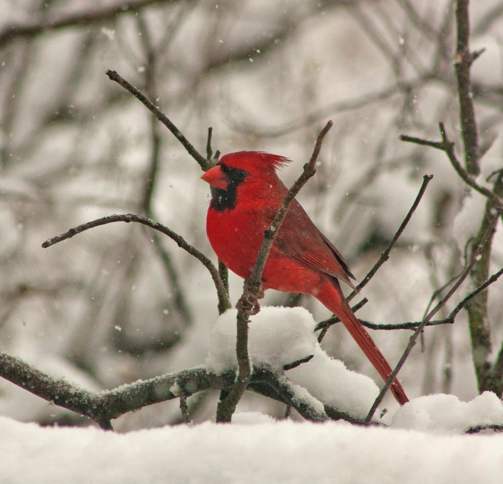 cardinals on top of tree branch while snowing