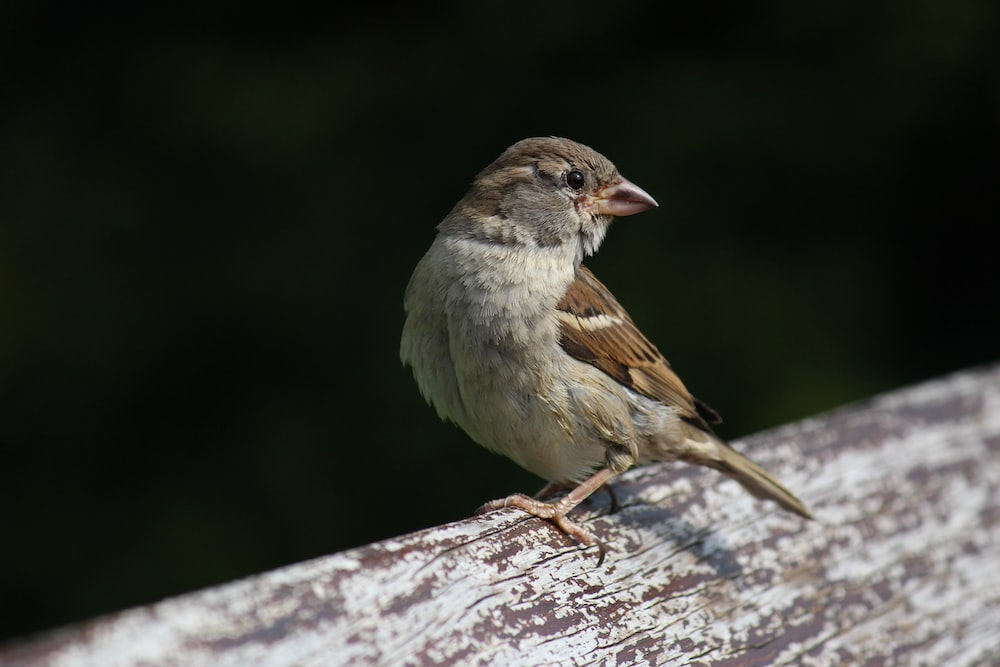 chipping sparrow on brown board