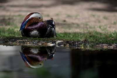 gray and purple bird on ground beside body of water at daytime