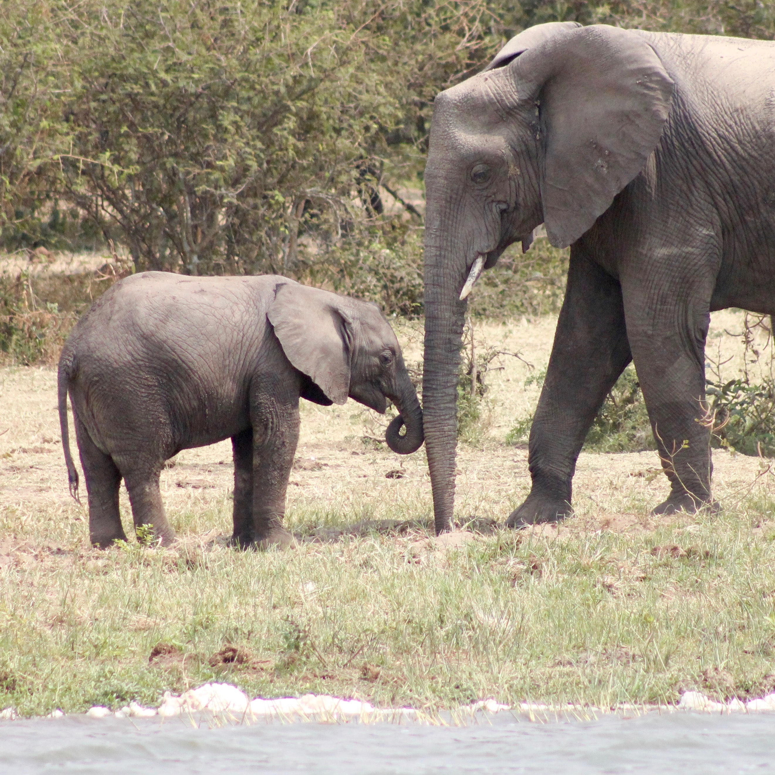 two elephants standing on grass near body of water