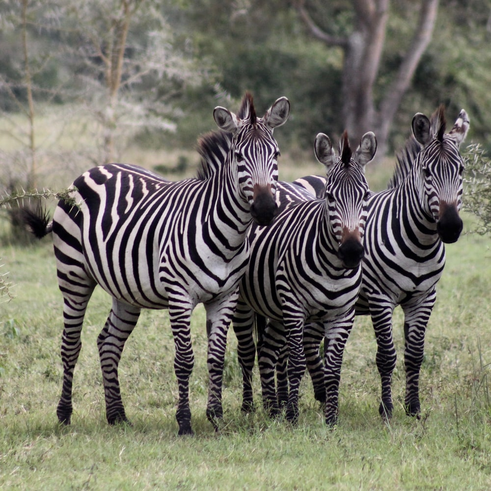 three zebra standing on grass field