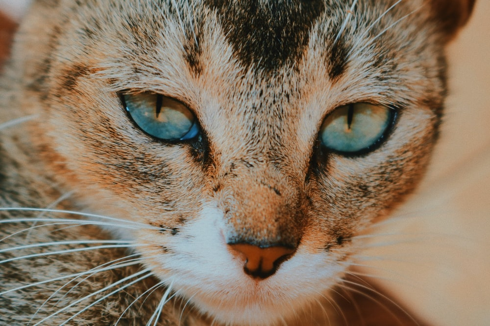 macro photography of short-coated brown cat