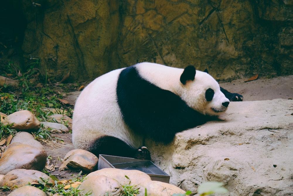 white panda lying on rock