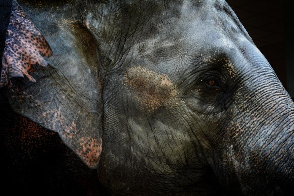 focused photo of gray elephant head