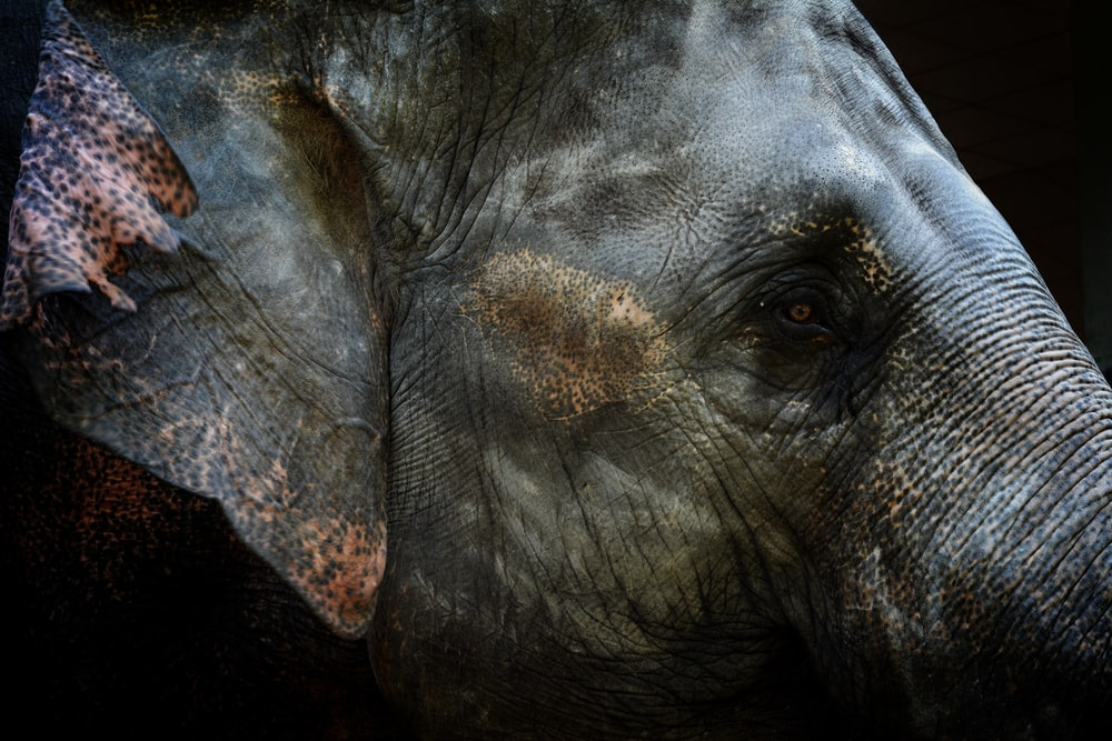 focused photo of gray elephant head