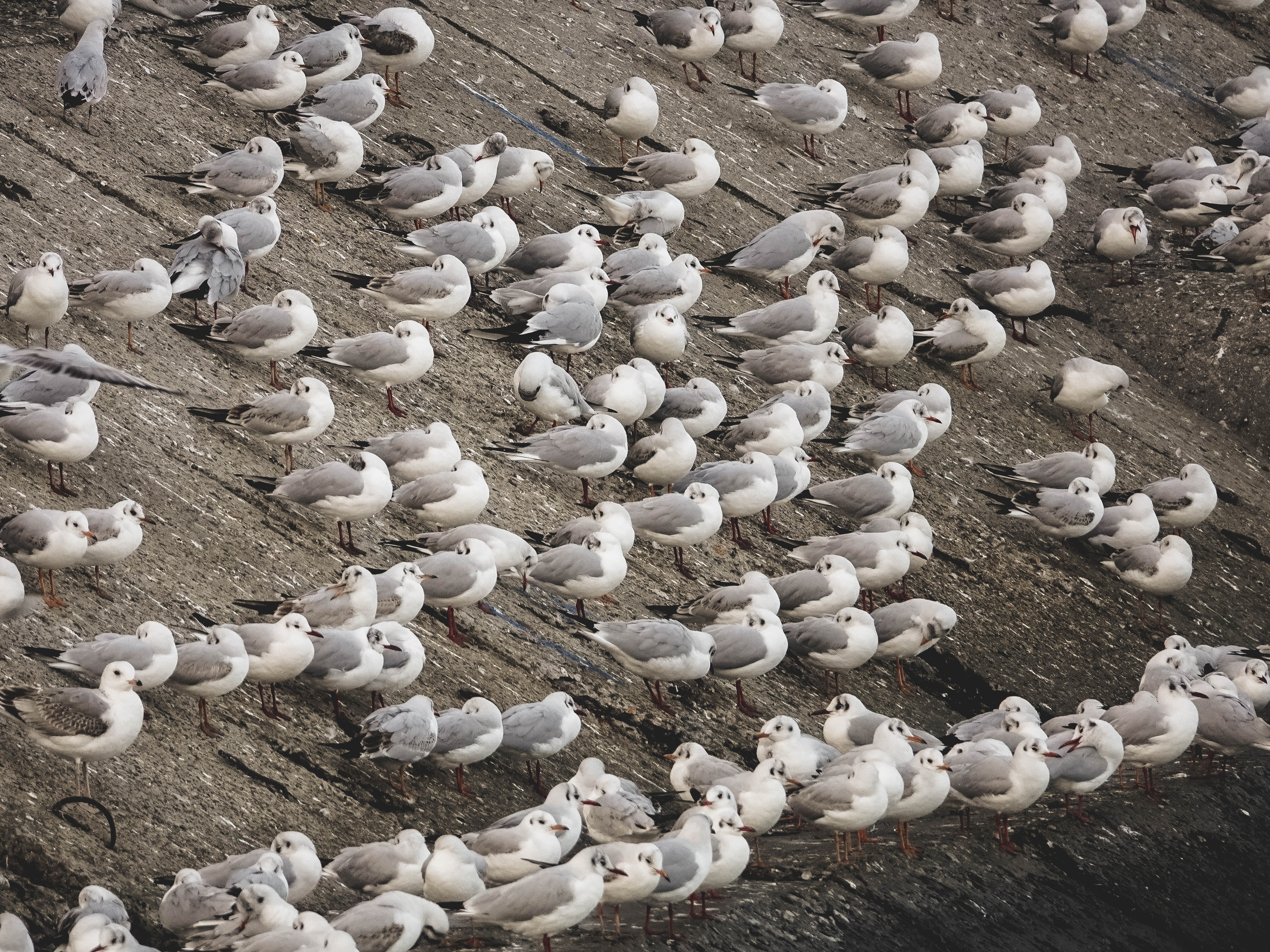 flock of white-and-gray birds