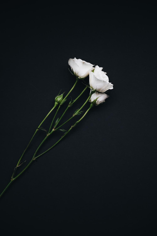 Three White Roses Photo Free Flower Image On Unsplash