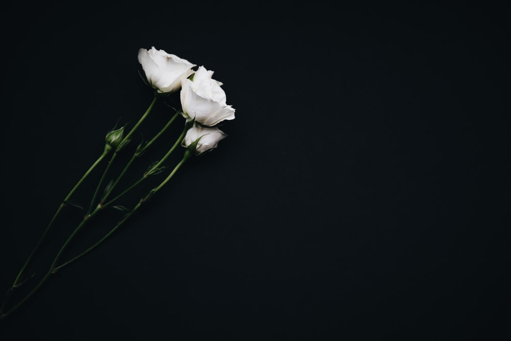 Flower Rose White And Green Hd Photo By Nathan Dumlao