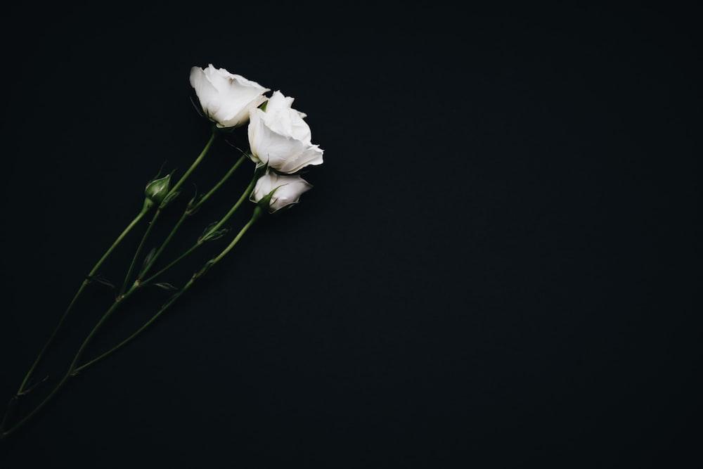 White Flowers On Black Background Photo Free Flower Image On Unsplash