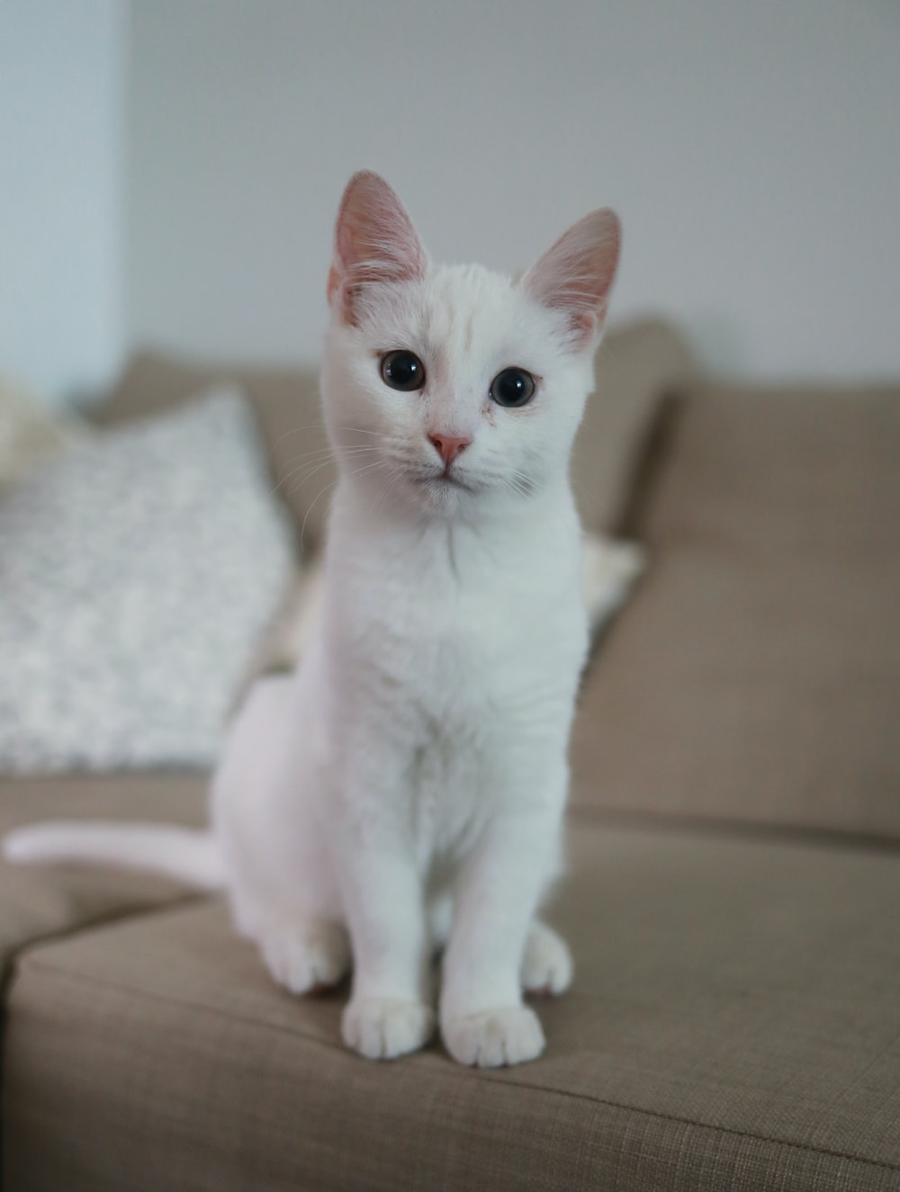 white cat sitting on brown couch