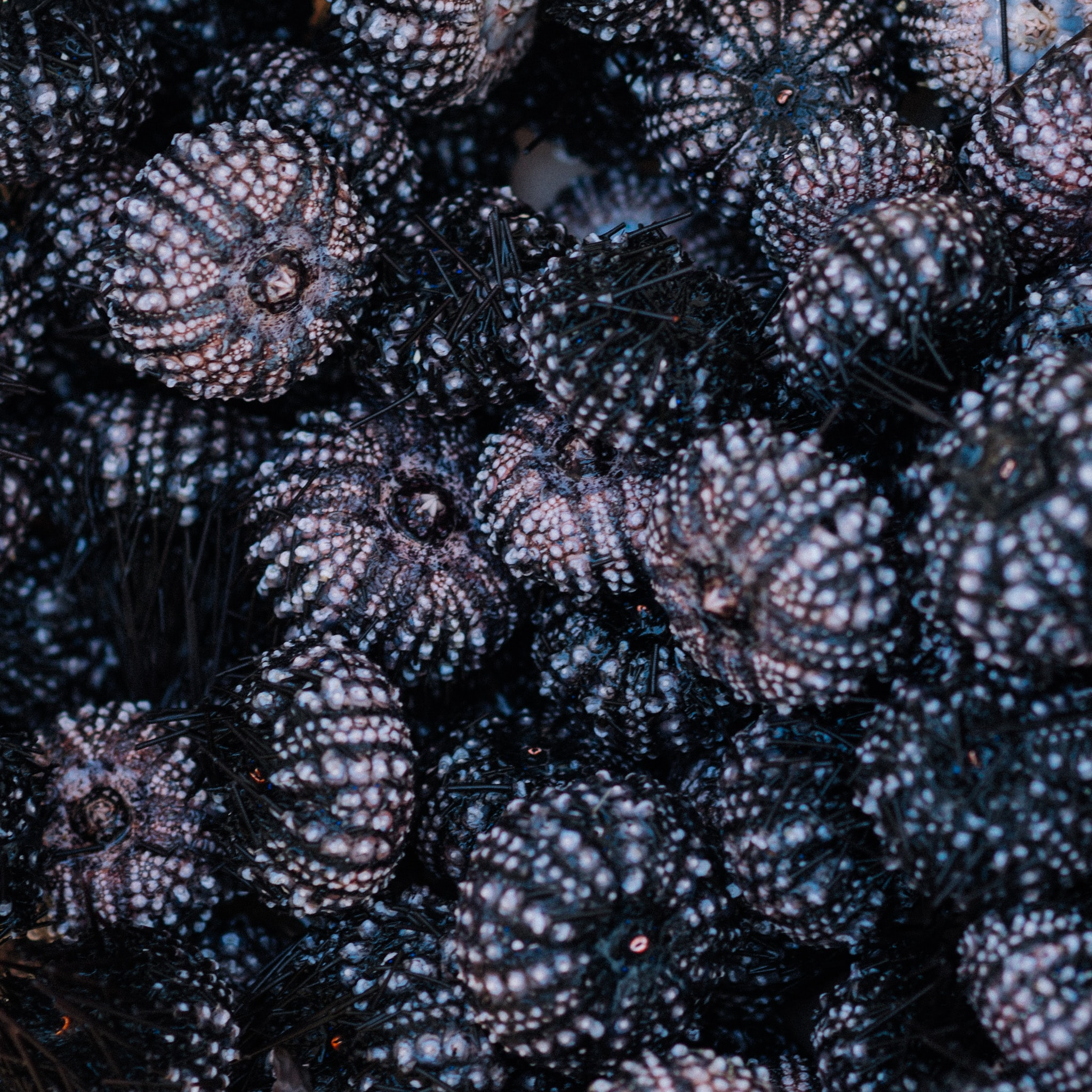 bunch of black sea urchins