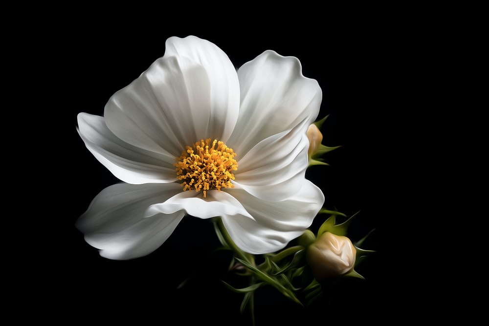500 black and white flower pictures hd download free images on white petaled flower mightylinksfo