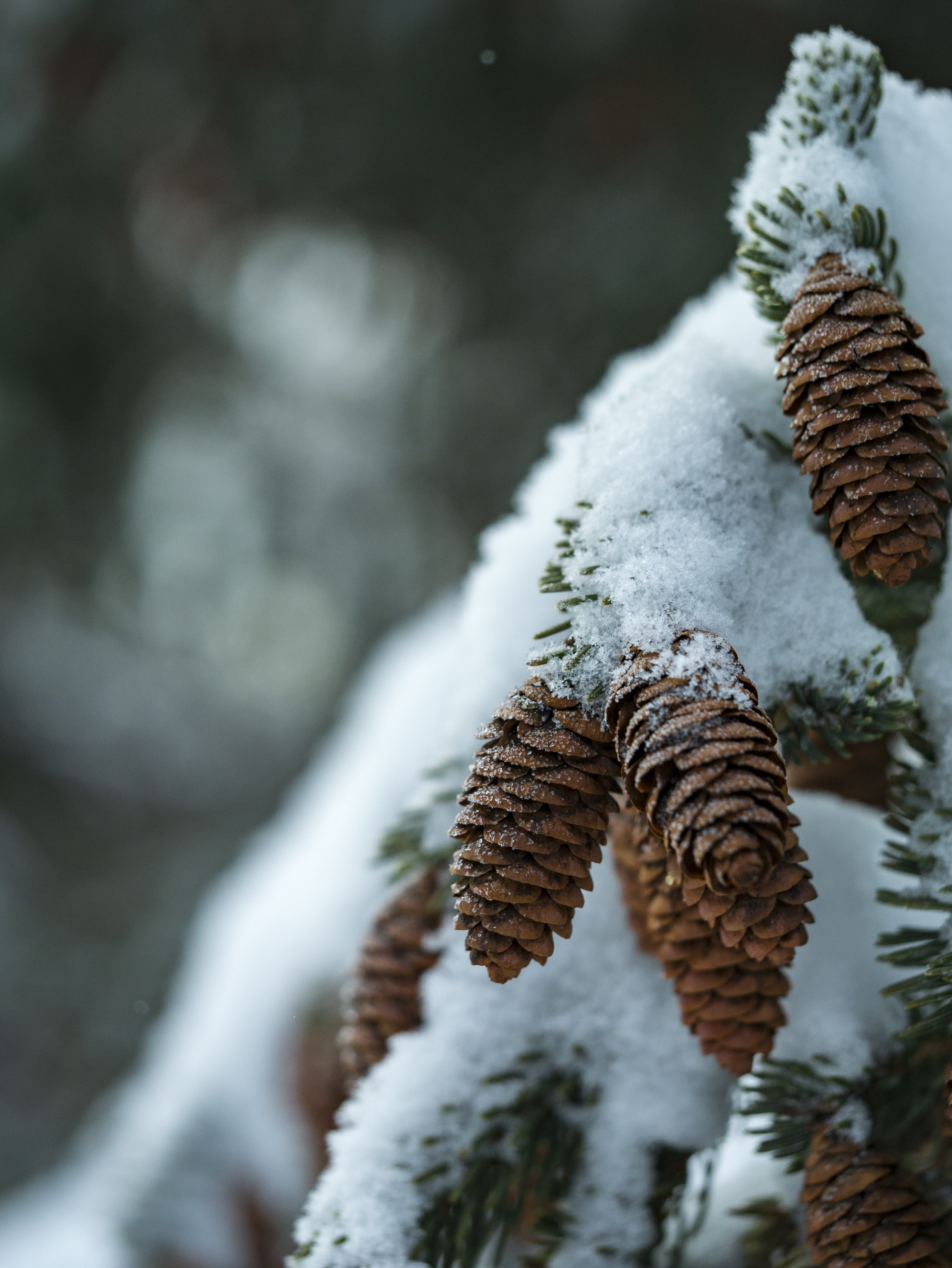 snow covering brown acorn fruit covered closeup photography