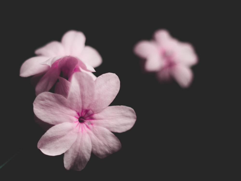 low-light photography of pink petaled flowers