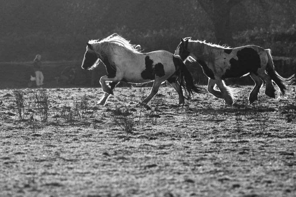grayscale photography of two horses on field