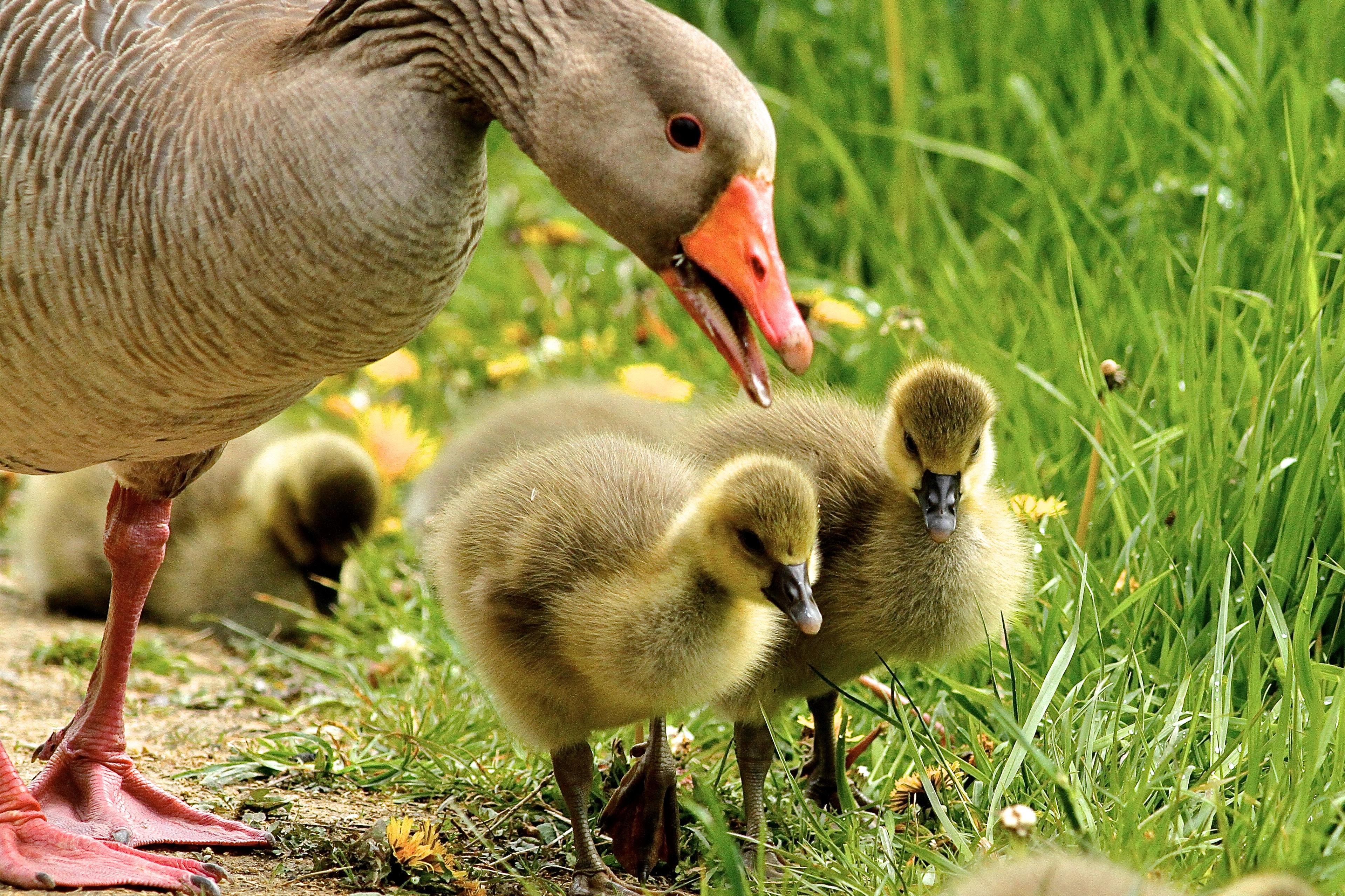 flock of duckies