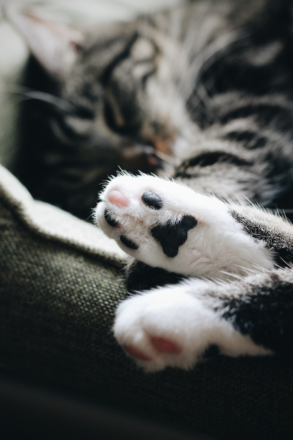 close-up photography of white and black tabby cat paw